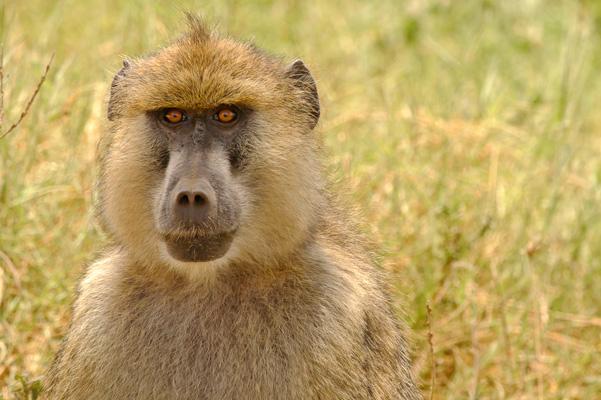 Mammalia - Ben Neuss Wildlife Yellow Baboons